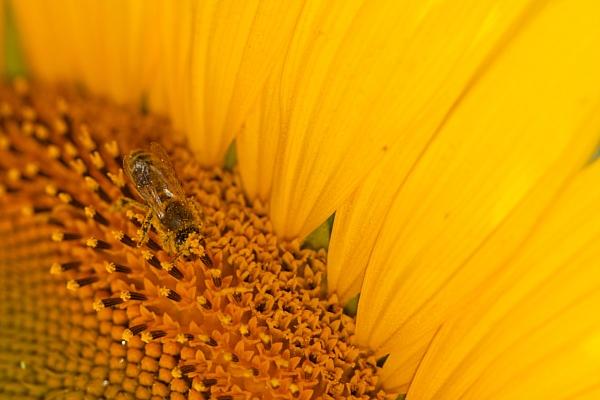 Sonnenblume-naehe