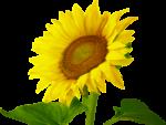 Sonnenblumenöl selber machen – so presst du dein eigenes Öl aus Sonnenblumenkernen