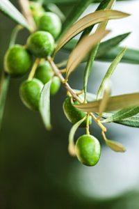 Oliven-an-Baum